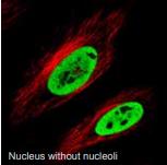 细胞核(无核仁).png