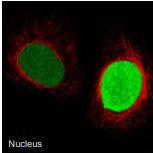 细胞核.png