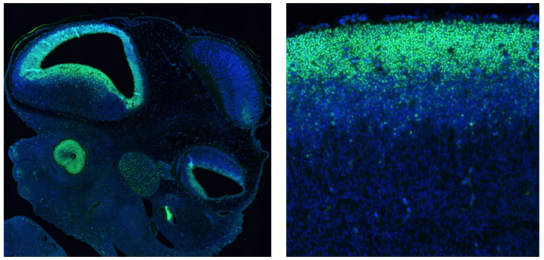 SOX2在胚胎发育过程中持续表达.jpg