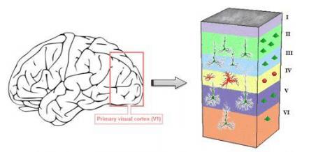 大脑的主要解剖结构.png
