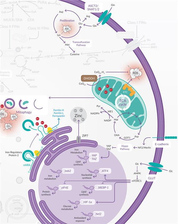 多种代谢途径促进铁死亡.jpg