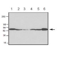 Swiss 3T3细胞WB结果图.png