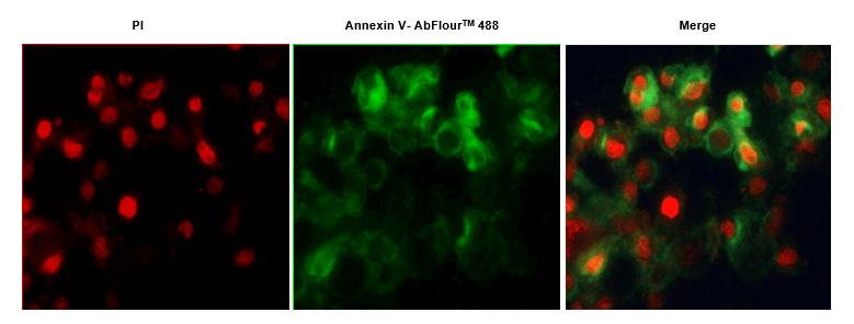 Annexin V- AbFluorTM 细胞凋亡检测试剂盒