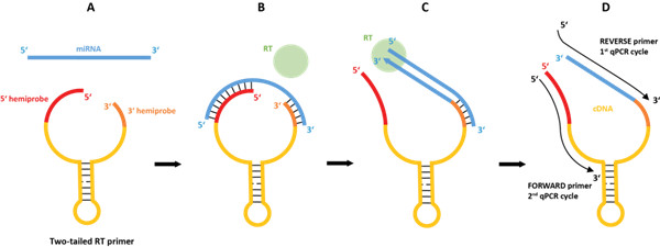 双尾RT-qPCR原理